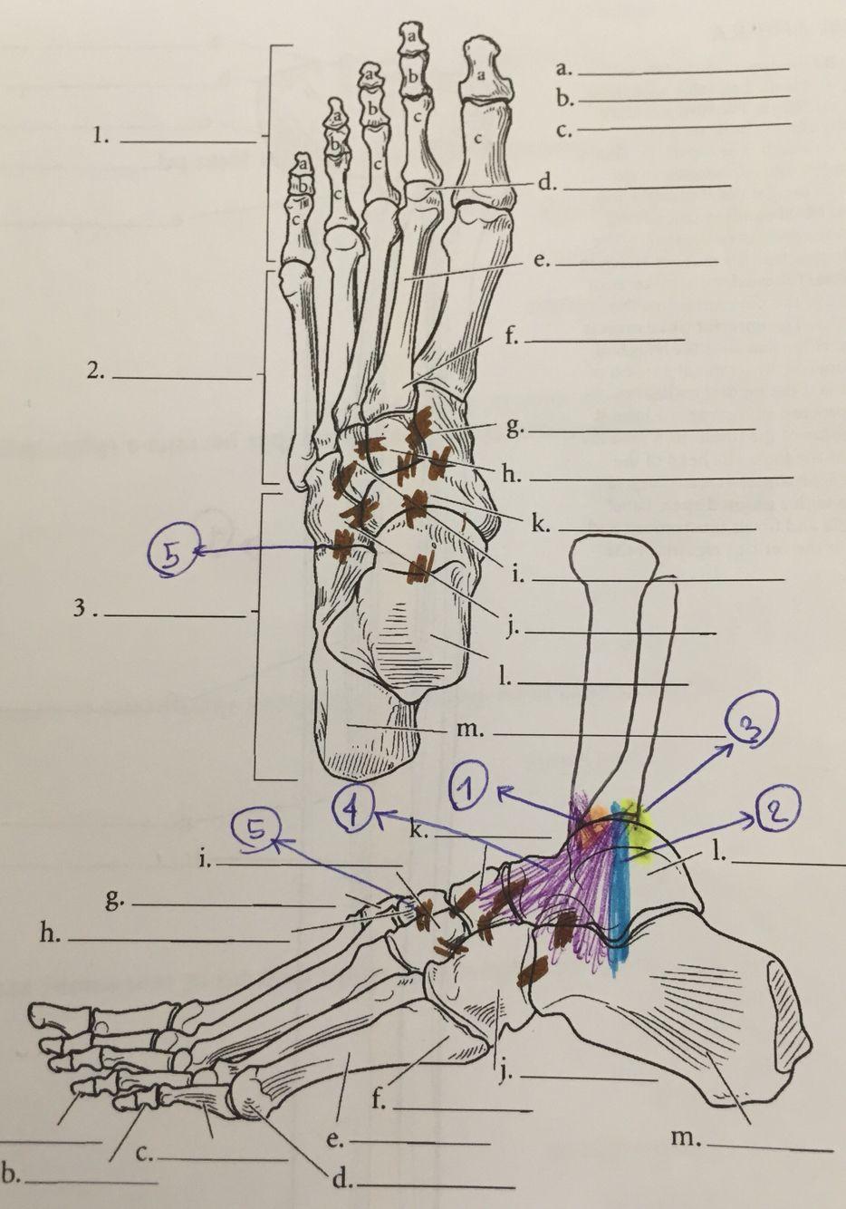 1. Anterior talofibular ligament 2. Calcaneofibular ligament 3 ...