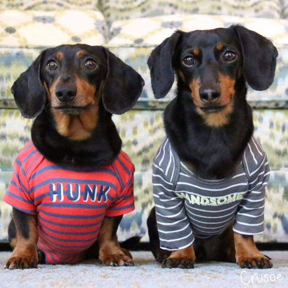 Dachshund Dog Dogs Puppy Puppies Small Dogs Cute Dogs