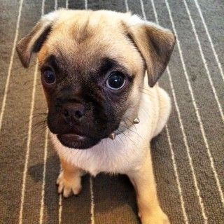 Meet Chopper the PuppyGoGo.com Pup of the Month for August 2016!