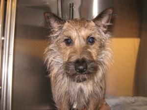 Saffron is an adoptable Cairn Terrier Dog in Allegan, MI. Meet little Ms. Saffron. A very sweet loving Cairn Terrier who unfortunately lost her home because her owner did not have enough time to spend...
