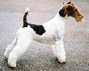 This Is The Future Puppy I Will One Day Own In The Future Wire Fox Terrier Fox Terrier Terrier