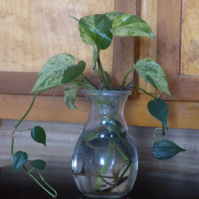 Hydroponic Plant Environments Feeding Houseplants Grown In Water
