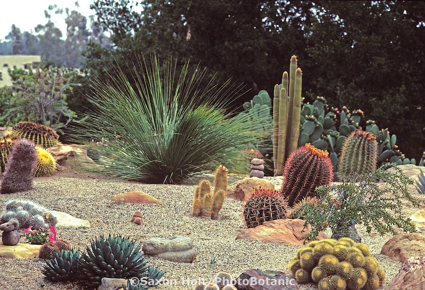 xeriscape  desert style garden with cactus and grass tree  xanthorrhoea  using rock gravel mulch