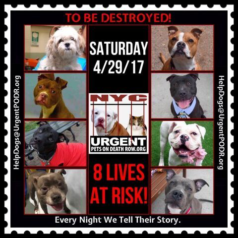 "8 BEAUTIFUL LIVES TO BE DESTROYED FRIDAY 04/29/17 @ NYC ACC **SO MANY GREAT DOGS HAVE BEEN KILLED: Puppies, Throw Away Mamas, Good Family Dogs. This is a HIGH KILL ""CARE CENTER"" w/ POOR LIVING CONDITIONS. Please Share: To rescue a Death Row Dog, Please read this: http://information.urgentpodr.org/adoption-info-and-list-of-rescues/"