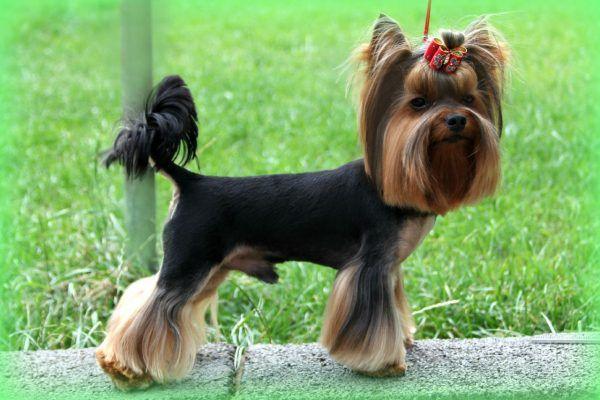 6 Shocking Yorkshire Terrier Information Disk Trend Magazine Yorkshire Terrier Puppies Miniature Yorkshire Terrier Yorkshire Terrier Dog