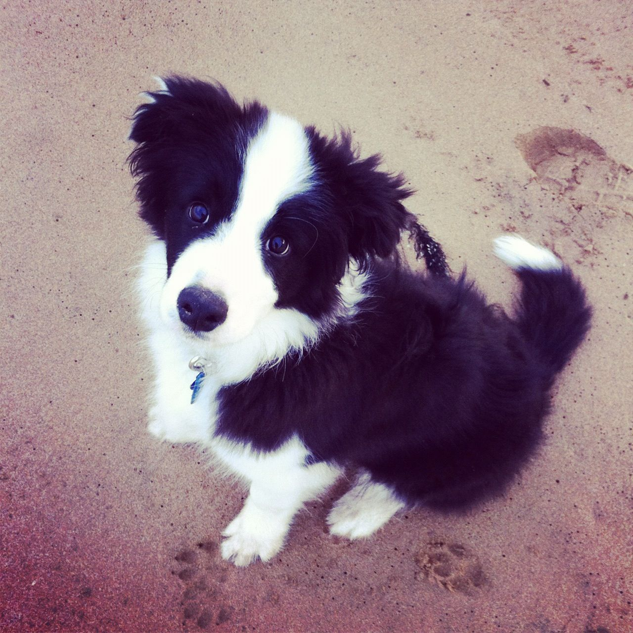 Scout the Australian black and white border collie