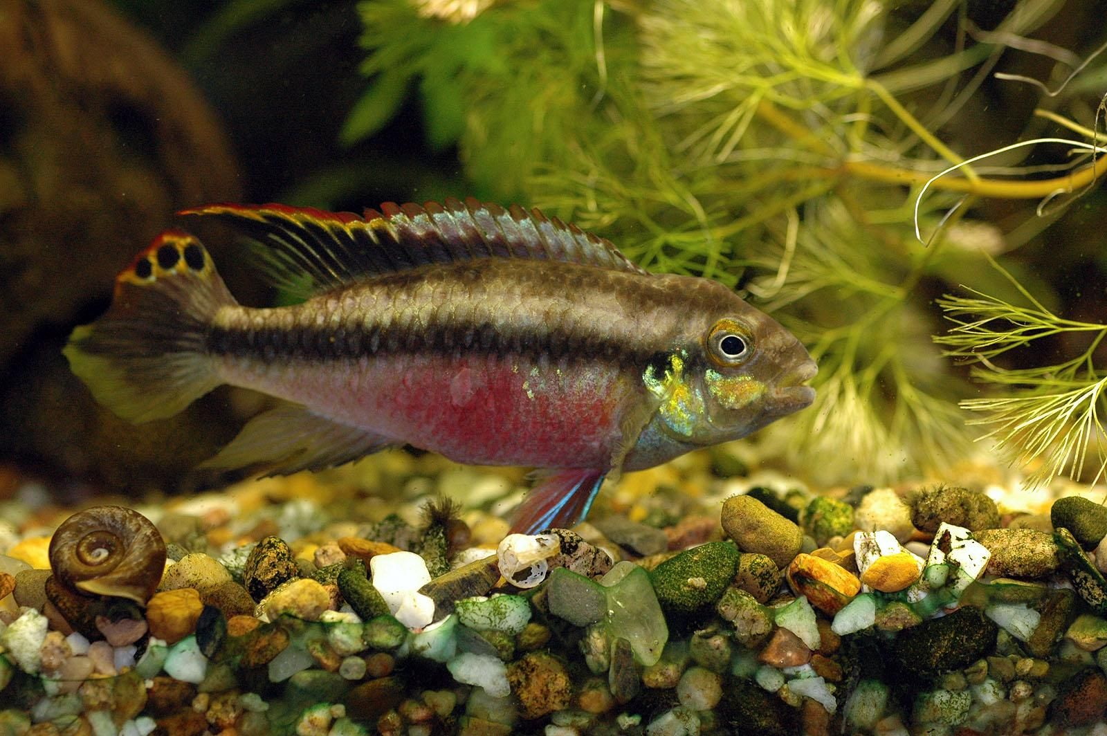 Freshwater aquarium fish photos - Freshwater Tropical Fish Pelvicachromis Kribensis Freshwater Aquarium Fish Free Wallpaper In