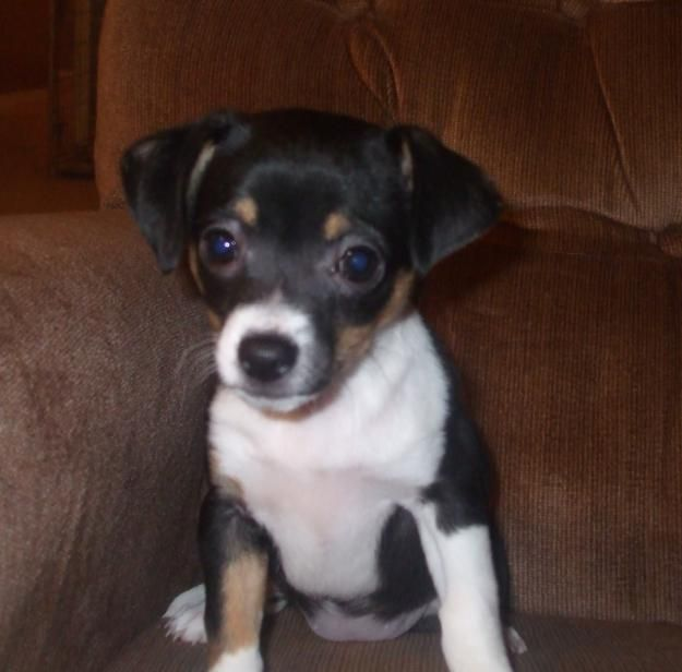 Chihuahua, Jack Russell Terrier cross, this looks almost ...