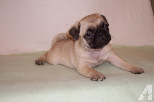 Pug Puppies For Sale In Nc Zoe Fans Blog Pug Puppies For Sale