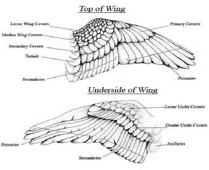 Awingfeathers1qa9 Jpg 695 565 Pixels Wing Anatomy Flying Birds Images Wings