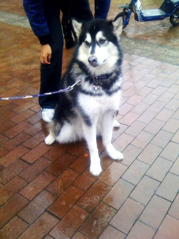 university of washington huskies football mascot dub university