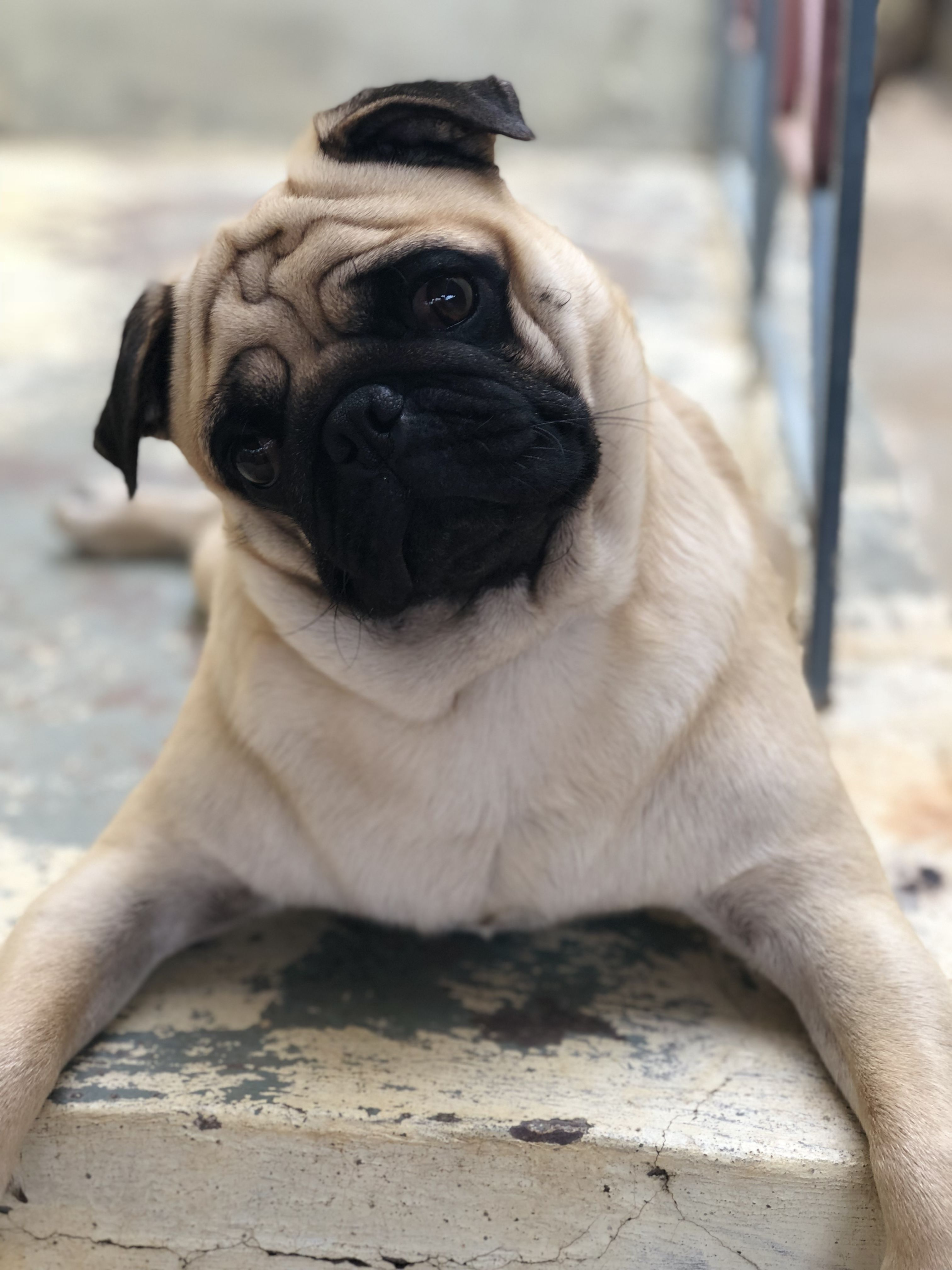 Pin By Cooljay On Pogo The Pug Cute Small Dogs Pugs Funny Pugs