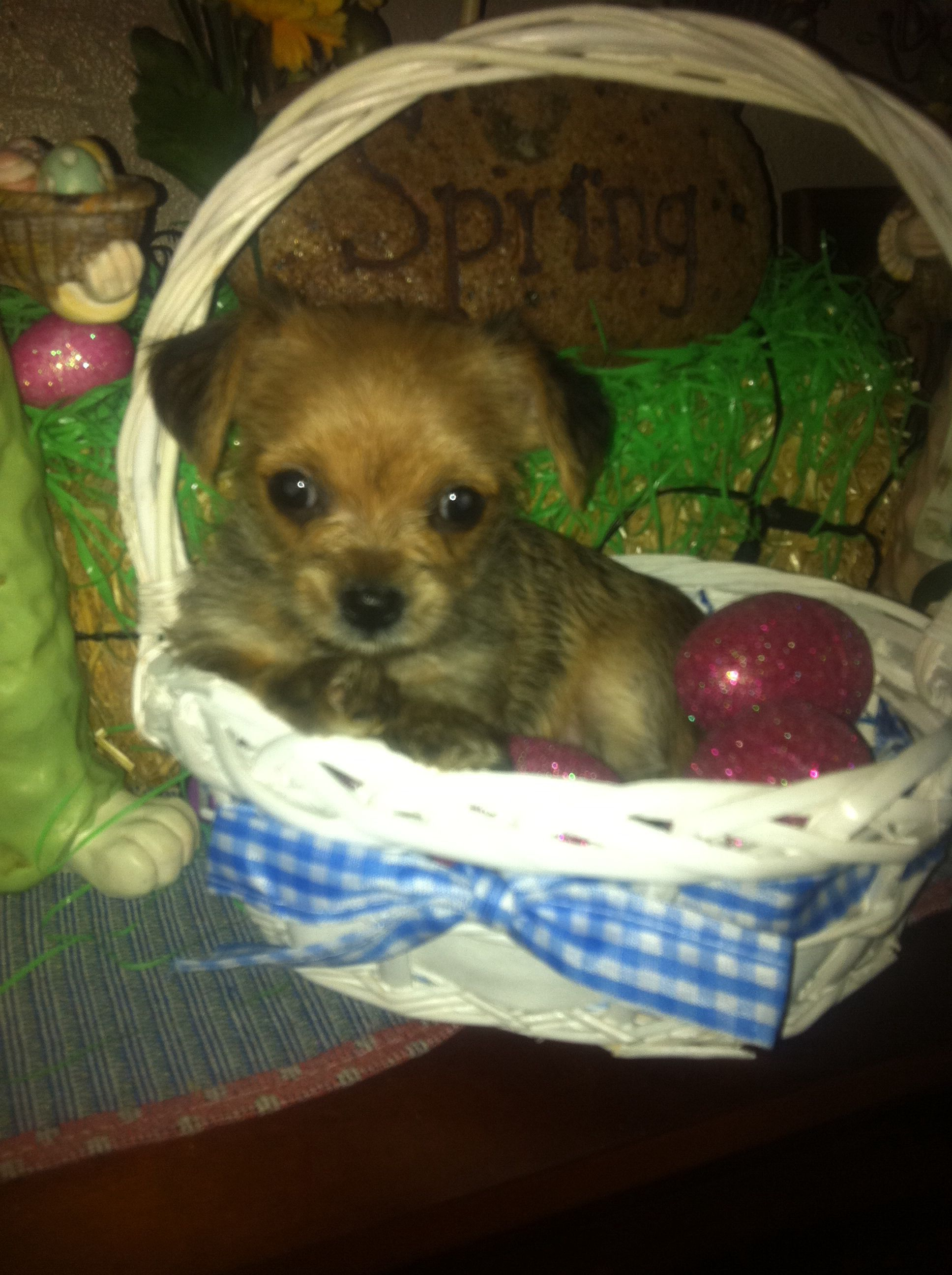 Chorkie Puppies For Sale In Texas Pets Puppies Food Animals