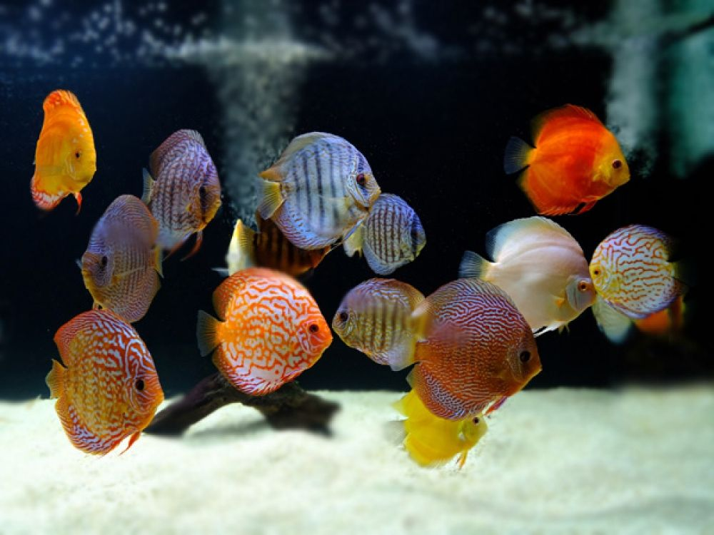 Assorted Discus Discus Discus Aquarium Tropical Freshwater Fish