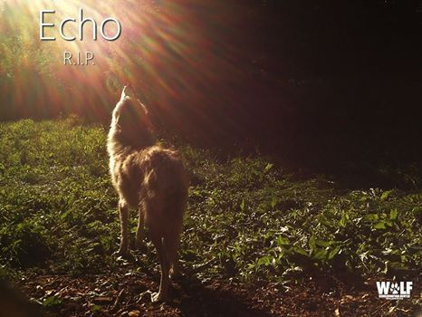 Echo, Yellowstone Wolf Spotted in Grand Canyon, Shot and Killed in Utah.  RIP Echo