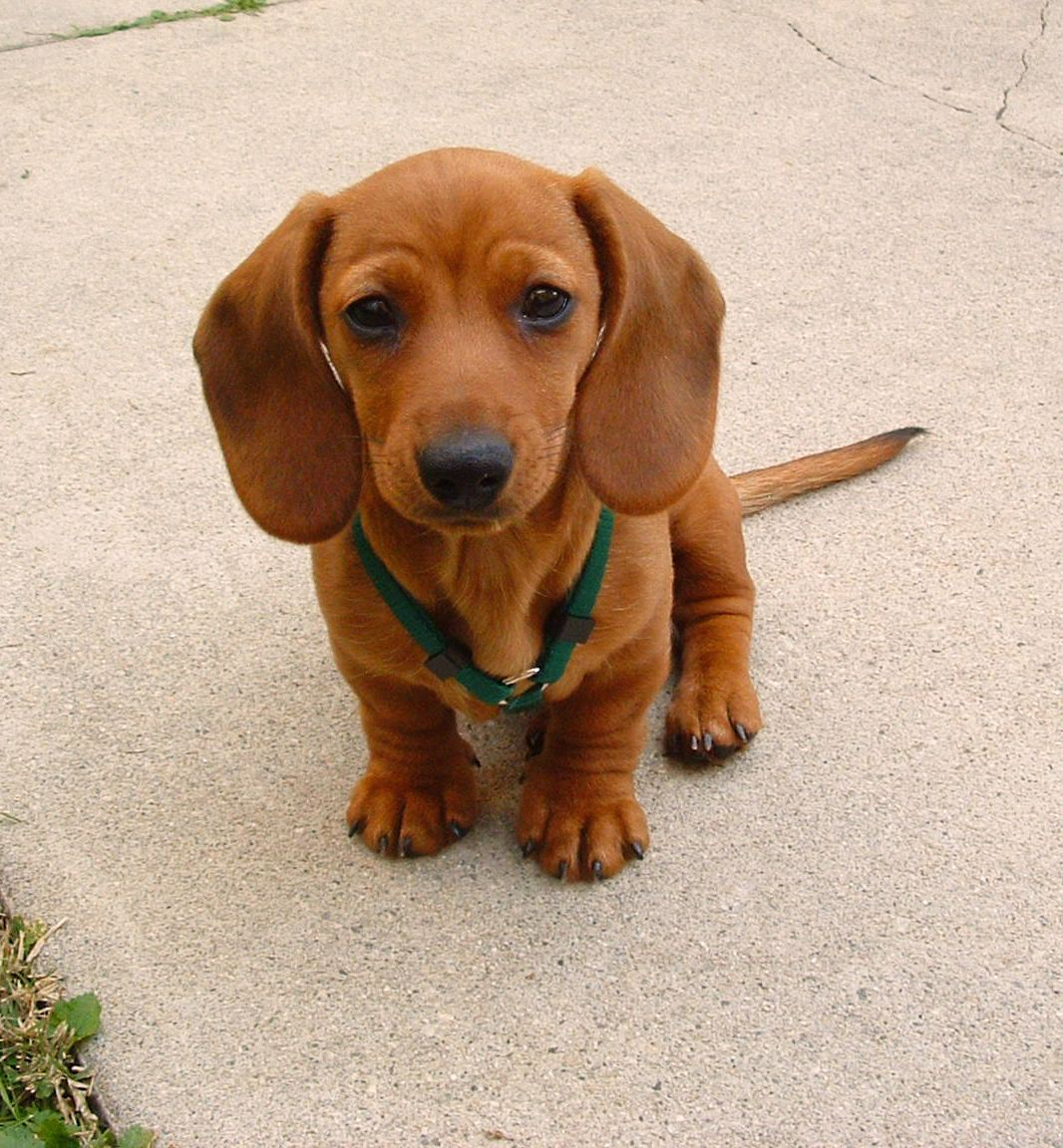 OMG I need one Miniature Mini Dachshund Starring Rufus my red