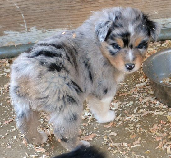 Old West Puppies Puppies Dogs Aussie Dogs