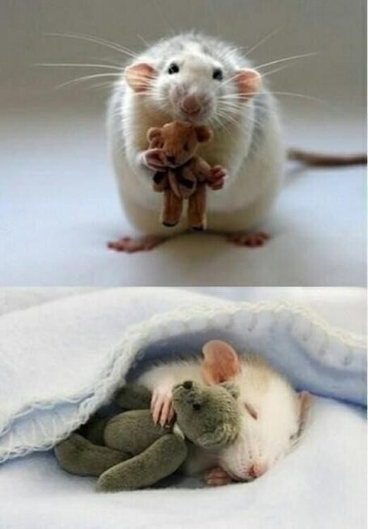 92d481d7095 For anyone feeling a bit sad, here's a picture from a woman who makes Teddy  Bears for her pet mouse pic.twitter.com/3uqG3bB0Ts