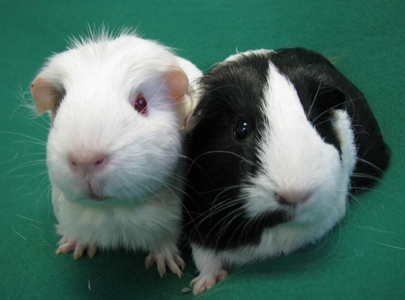 Pin On Adoptable Guinea Pigs