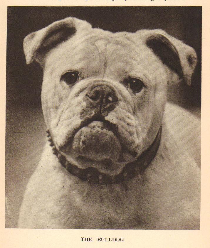 Bulldog Photo H 1931 Vintage Dog Print Matted Vintage Dog