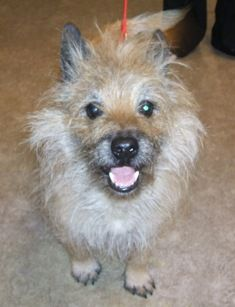 Adopted Max Cairn Terrier Adopt Me Adopted Cairn
