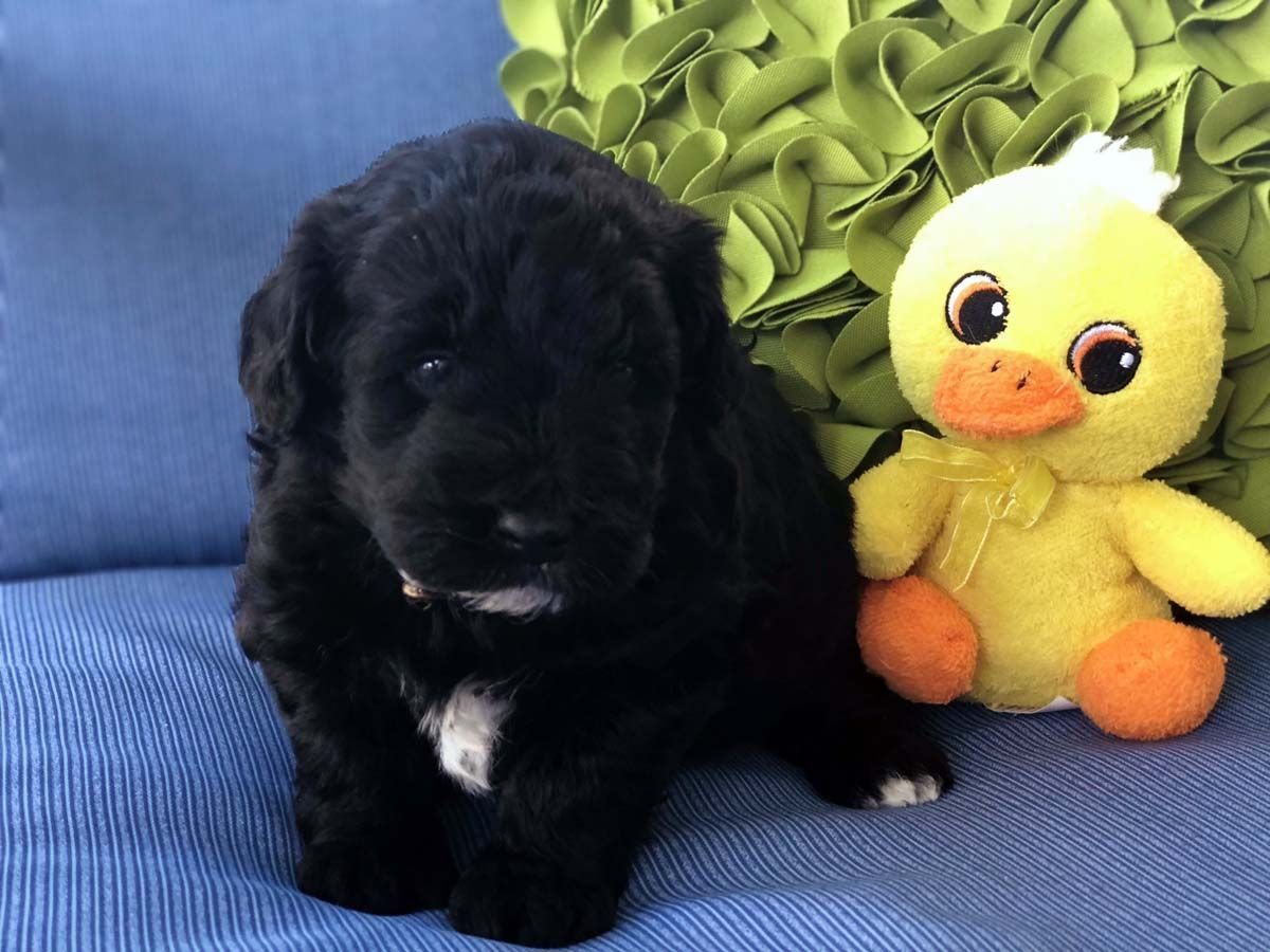 Mini Doodle Dogs, labradoodle, hypoallergenic dogs, mini