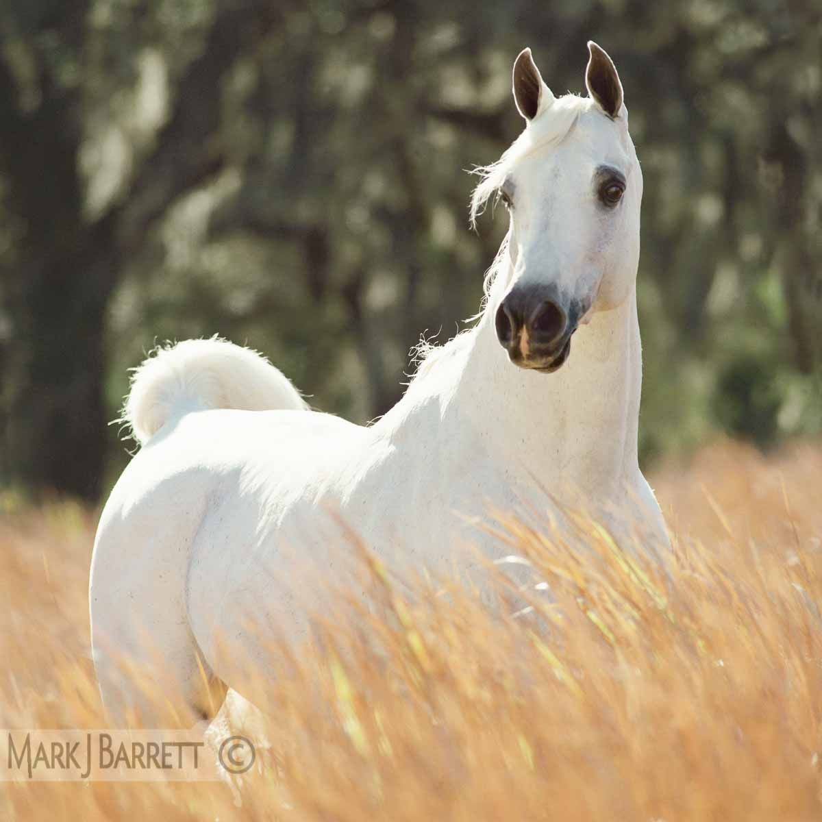 white Arabian horse stallion  standing in tall grass.