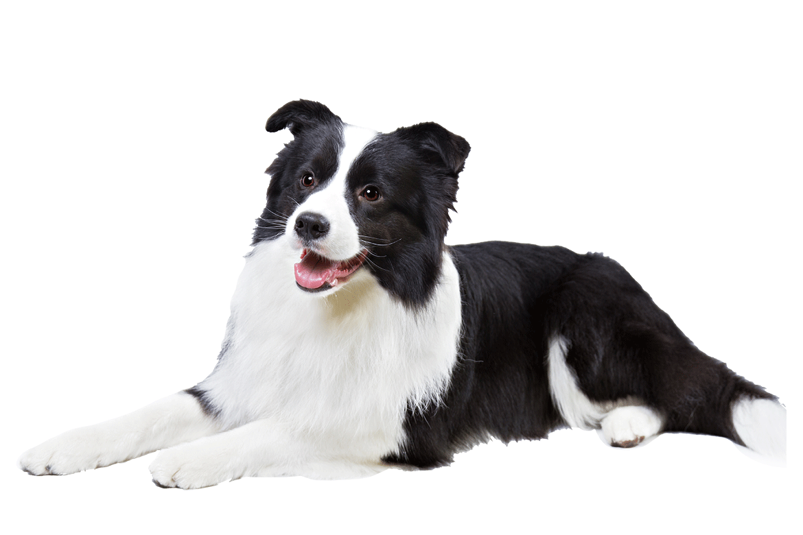 Border Collie Dog Breed Information Types Of Dogs Border Collie Dogs