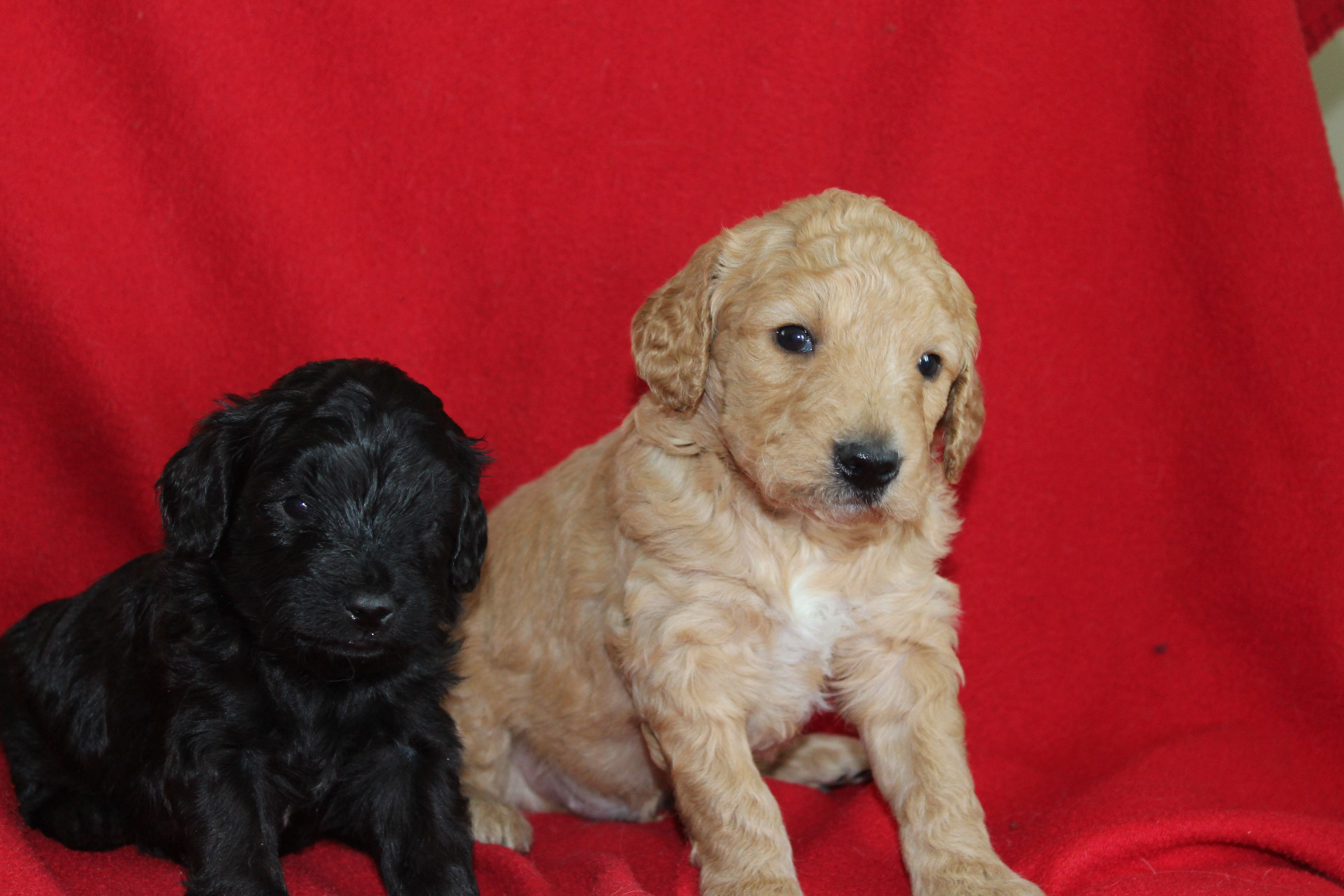 Day 28 - male mini goldendoodles smaller, black with tiny