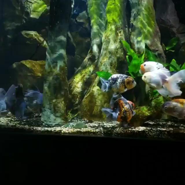 Everyone S Ready For The Rams To Ram It To Them Patriots Video Goldfish Aquarium Freshwater Aquarium Fish Goldfish Tank