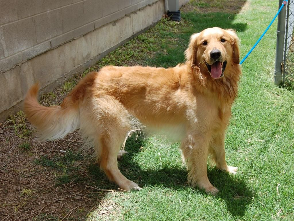 Cash Is A 1 5 Year Old Male Golden For More Details Go To Http