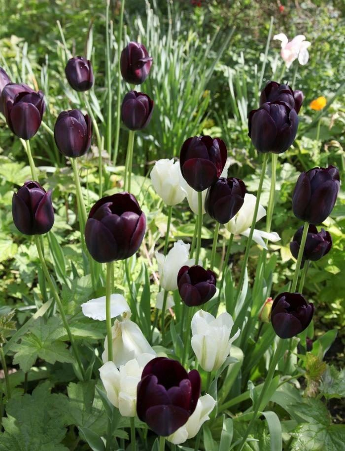 Tulipanes Negros Jardín De Tulipanes Tulipanes Flores Tulipanes
