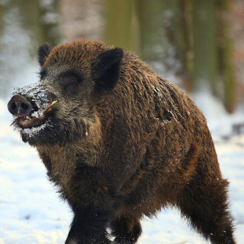 Wild Boar Or Wild Pig (Sus Scrofa) Is A Species Of The Pig