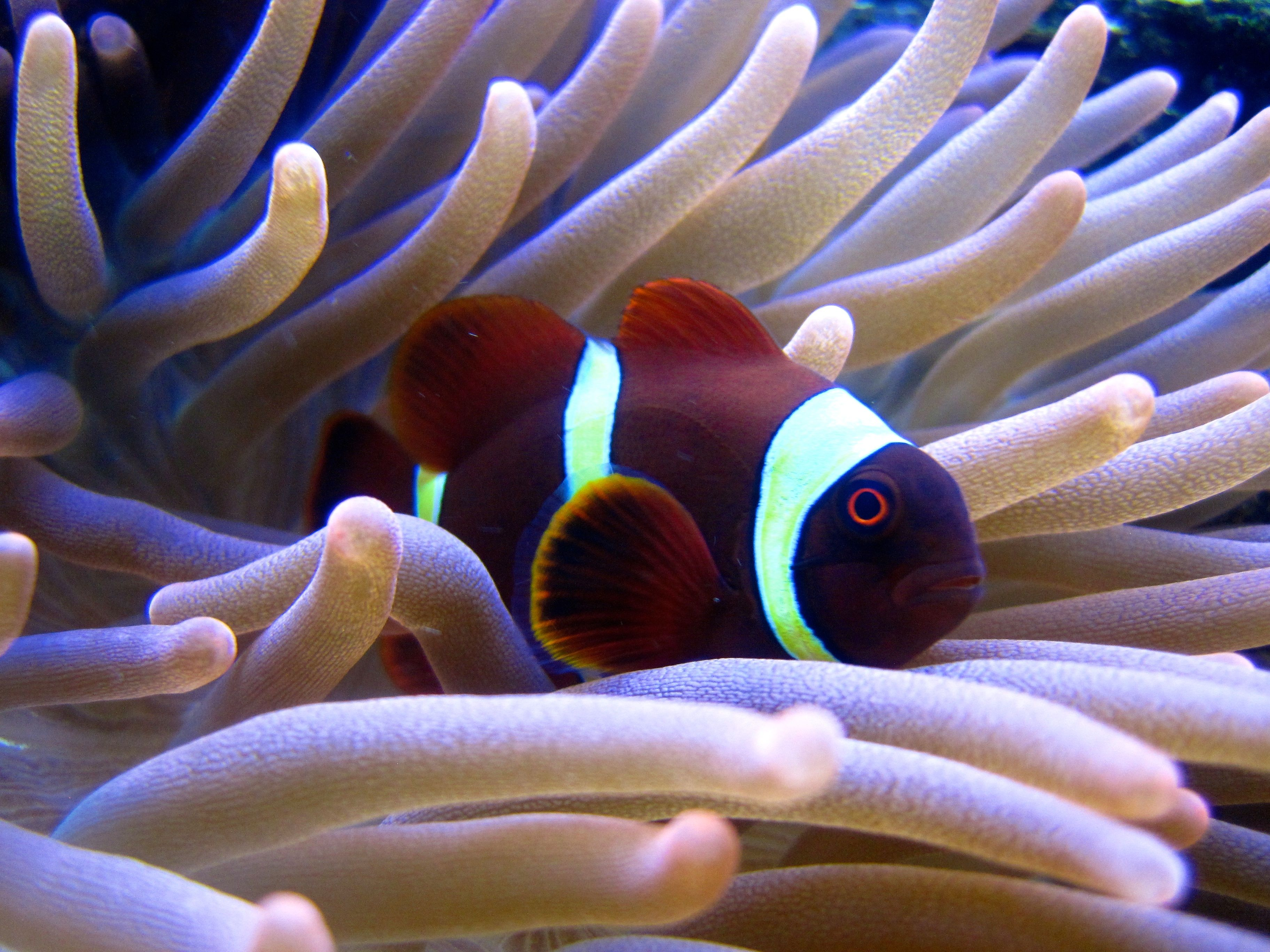 Say Hello To Benjarvis He Fiercely Protects His Home Yellow Striped Maroon Clownfish Hosting Rose Bubble Tipped Anemon Clown Fish Bubble Tip Anemone Fish