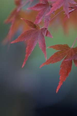 Japanese Maple VI