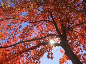 Scarlet Colors of Autumn