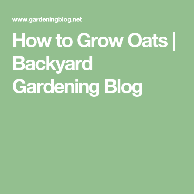 How To Grow Oats | Backyard Gardening Blog
