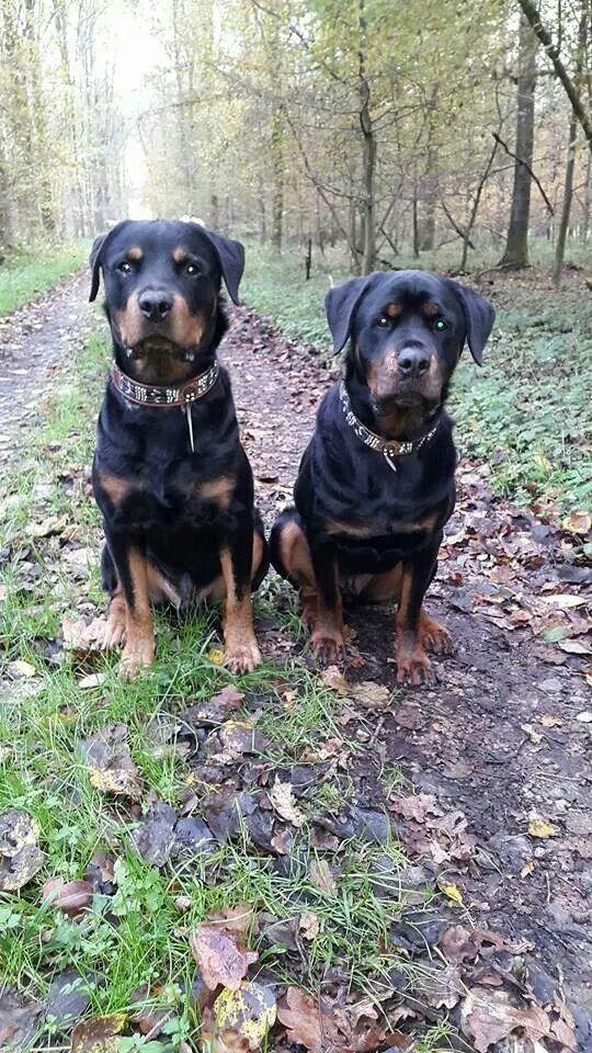 Rottweilers Rottweiler Pictures Rottweiler Puppies Big Dogs