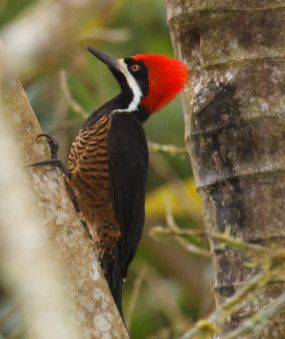 MALE POWERFUL WOODPECKER. NATIVE OF SOUTH AMERICA.