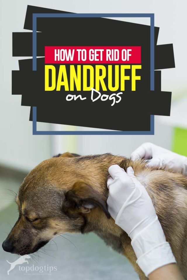 How To Get Rid Of Dog Dandruff Dog Dandruff Dandruff Dog Benadryl