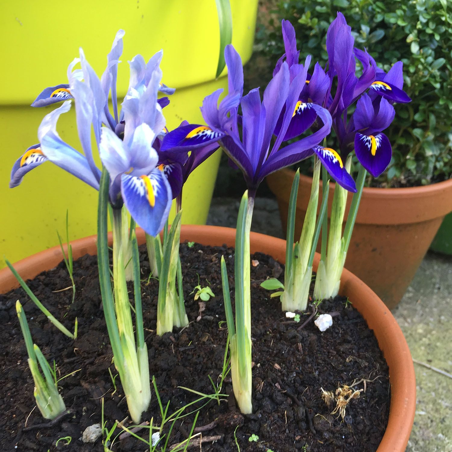 Plant Bulbs Now For Stunning Flowers In Spring Miniature Iris