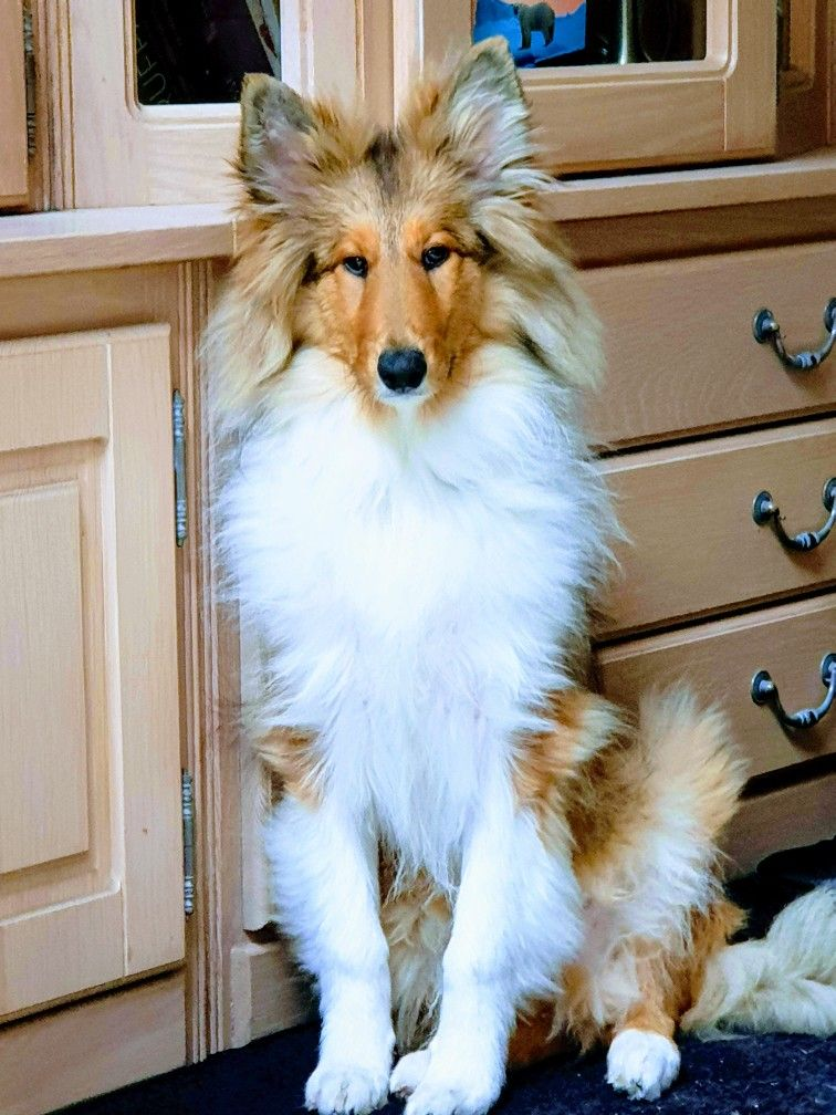 Pin By Darci Howarth On Collies And Shelties Loyal Dog Breeds