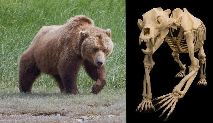 Skeleton of a Grizzly Bear. | Grizzly Bear Kingdom | Pinterest