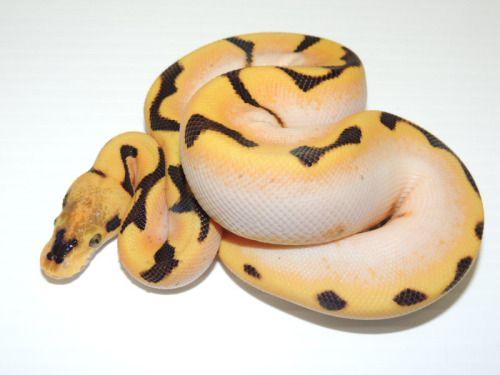 Super Orange Dream Fire Spider Ball Python Reptilien Schlangen