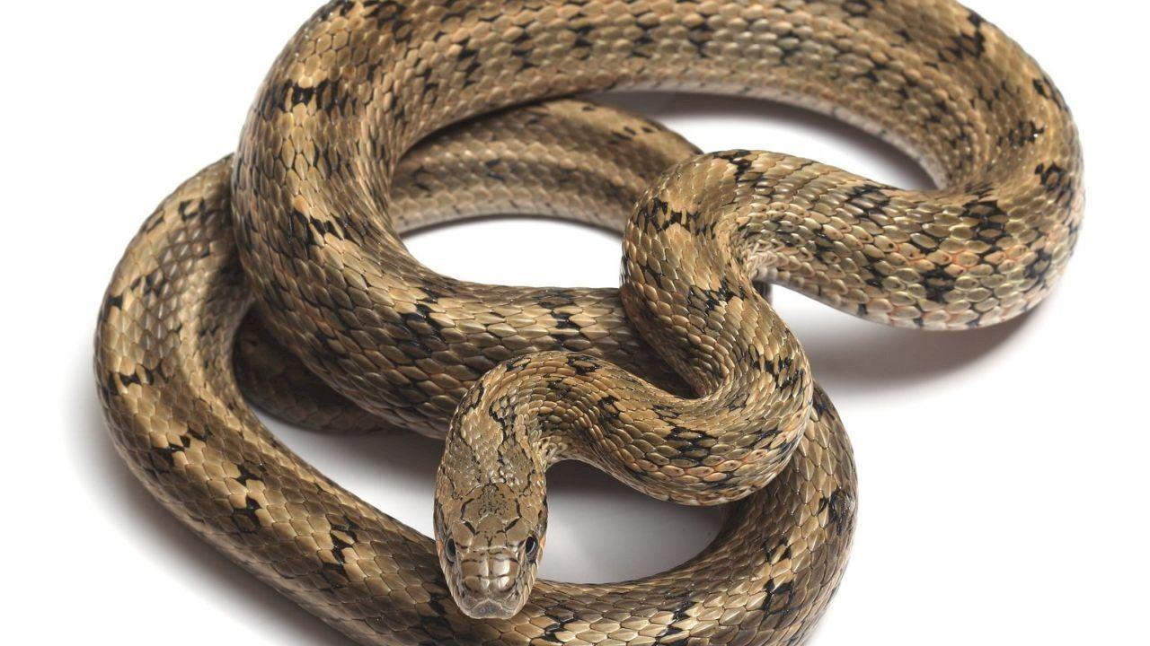 تفسير رؤية الثعبان In 2020 Snake Animals