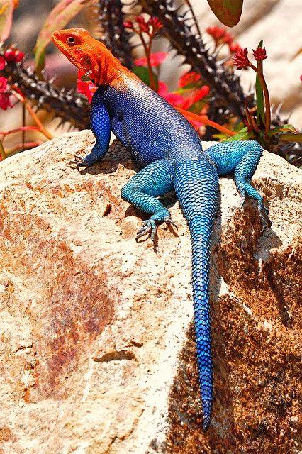 Rainbow Lizard Cute Reptiles Animals Beautiful Lizard