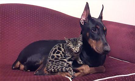 Daily Cute Doberman And Bengal Cat Cuddle Cat Cuddle Bengal
