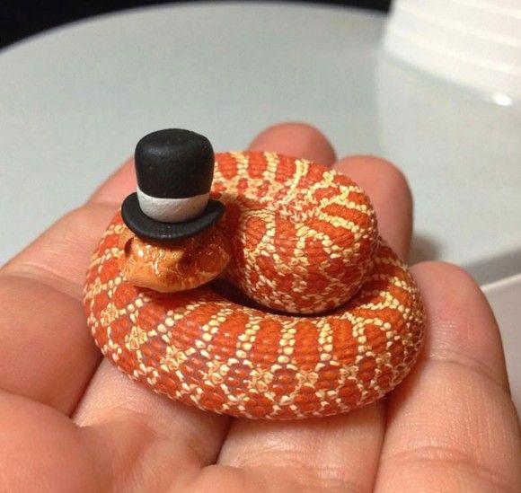 そんなもの被せたくらいでっヘビが か かわいいじゃないか 蛇に帽子をかぶせたら思いのほかかわいくなる事案 カラパイア 可愛すぎる動物 ヘビ かわいい