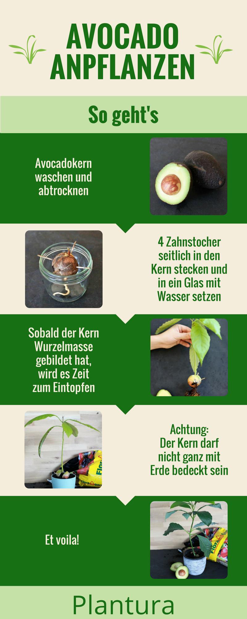 avocadokern einpflanzen vermehrung anbau leichtgemacht anbau von pflanzen garten. Black Bedroom Furniture Sets. Home Design Ideas