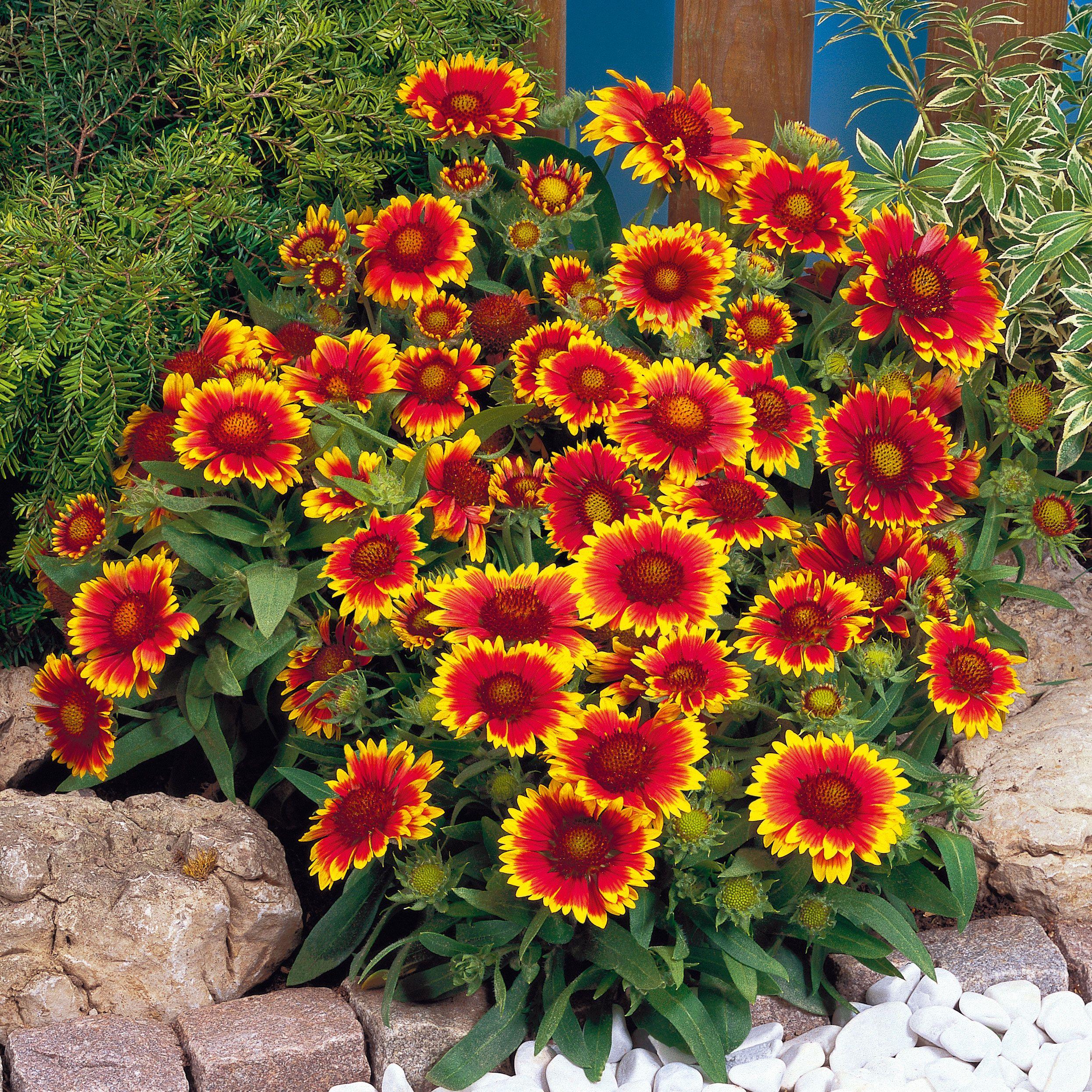 Blanket Flower Gallardia Has Red Orange And Yellow Flowers In